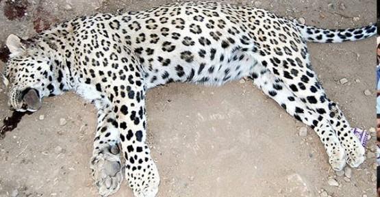 Leoparı öldüren çiftçinin alacağı ceza kesinleşti