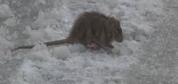 İstanbul'da fareler dondu, sincaplar aç kaldı!